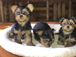 YORKSHIRE TERRIERS (PURE YORKIE) Pups