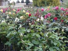 STANDARD ROSES ORDER NOW Hillbank Playford Area Preview