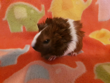 Guinea Pig babies Abyssinian and Smooth coat