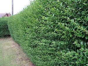 5 Green Privet Hedging Plants Ligustrum Hedge 40-60cm,Dense Evergreen,Big Pots