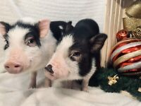 **Adorable American Mini Piglets**ONLY 2 LEFT