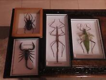 Taxidermy Large Scorpion and Giant Insects for Sale Secret Harbour Rockingham Area Preview