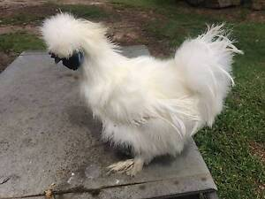 silkie roosters Maraylya The Hills District Preview