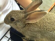 2 baby Netherland Dwarf bunnies for sale (URGENT!!) Bass Hill Bankstown Area Preview