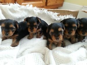 Yorkie pups for sale  call Diane 19023842514
