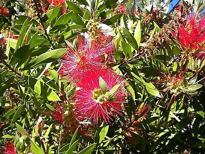 CALLISTEMON CITRINUS SPLENDENS 1 pianta alveolo fiori mellifera spazzolini