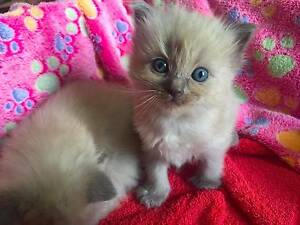 Pedigree Mink Ragdoll kittens with DNA results Croydon Burwood Area Preview