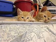 2X Ginger Kittens For Sale $80 Each, Price NEG Brisbane City Brisbane North West Preview
