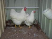 6 MONTH OLD SHOW QUALITY LARGE WHITE WYANDOTTE PAIRS Tullamarine Hume Area Preview