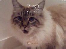 Lost cat 10/04/2016 Ragdoll x Greenbank Logan Area Preview