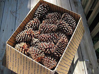 """65 PINE CONES 4 - 6"""" Natural New Crop CLEAN Crafts BIRD FEEDER Wreath Gifts DIY"""