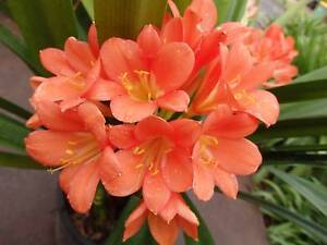 CLIVIA PLANTS - BELGIAN HYBRIDS - SINGLE PLANTS OR LARGE CLUMPS Wandin North Yarra Ranges Preview
