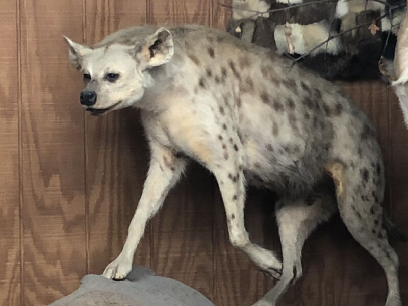AFRICAN SPOTTED HYENA TAXIDERMY FULL LIFE SIZE MOUNT