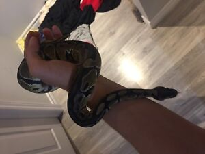 2 year old ball python