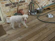 purebred female poodle Newcastle 2300 Newcastle Area Preview