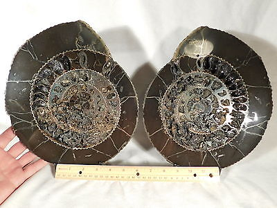 A GIANT! Polished Speetoniceras PYRITE Ammonite Fossil Found in Russia 4830gr e