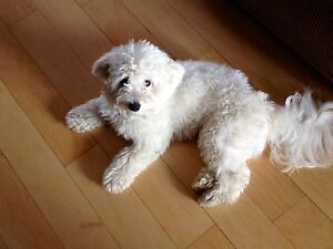 Rehoming 1 year old maltipoo