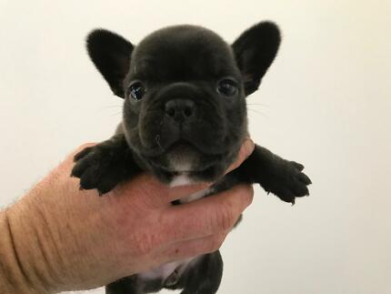 Five Exceptionally Bred French Bulldog Puppies