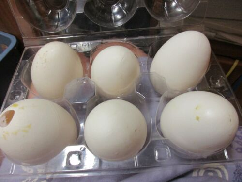 6  White  Blown Goose Eggs with 5 Single Hole  1 double hole New For Crafts