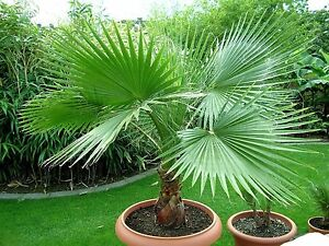 Graines-de-Palmier-WASHINGTONIA-FILIFERA-Resistant-Lot-de-10-graines-et