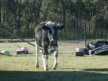 Frisian Cross Cow For Sale Appin Wollondilly Area Preview
