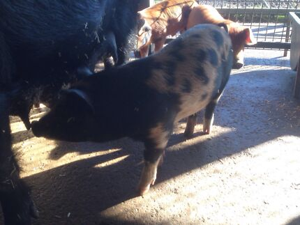 Piglets for sale Abbotsbury Fairfield Area Preview