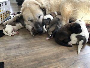 Irish Wolfhound/ St. Bernard cross Puppies for Sale!