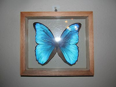 REAL BLUE PERUVIAN BLUE MORPHO DIDIUS FRAMED MOUNTED BUTTERFLY INSECT