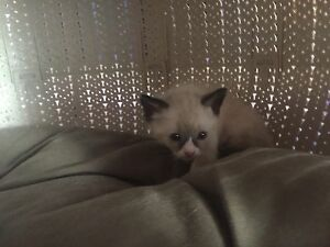 Siamese x Ragdoll kittens Need Forever Homes