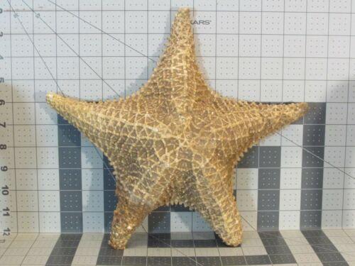"HUGE Beautiful STARFISH, Dried Sea Star, LARGE 11.5"" x 10.25"" x 3.25"", Free Ship"