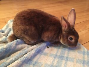 Mini Satin Bunny (5 months old)