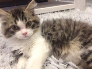 Wanted: Chinchilla x rag doll persian- need cat gone ASAP