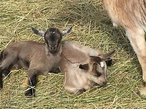 For Sale 2 Sets of Twin Goat Bucklings