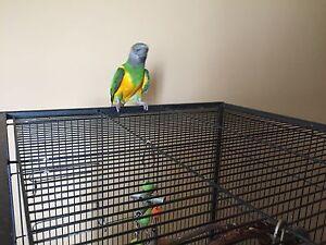 Male Senegal parrot