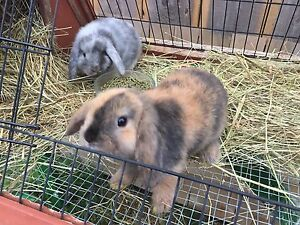 Pure Holland Lop Harlequin!