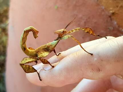 Spiny Leaf stick Insects