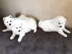 Spitz Japanese Puppy