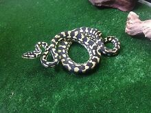 Yearling Jungle Pythons Mentone Kingston Area Preview