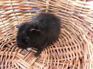 PURE REX BABY GUINEA PIGS Cranbourne South Casey Area Preview