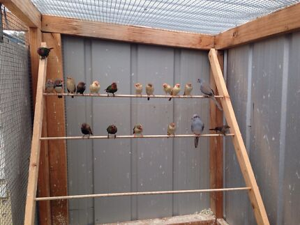 Finches for sale from breeder Toongabbie Latrobe Valley Preview