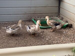 3 Silver Appleyard Ducks