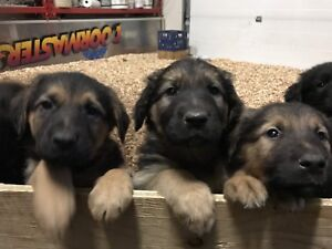 Golden Retriever-German Shepherd Cross Pups