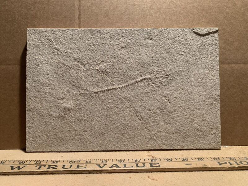 Unprepared Fossil Fish Green River Formation Eocene