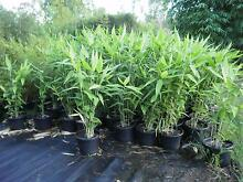 Tiger Grass-Clumping Tropical Grass-Bamboo lookalike Sunshine Coast Region Preview