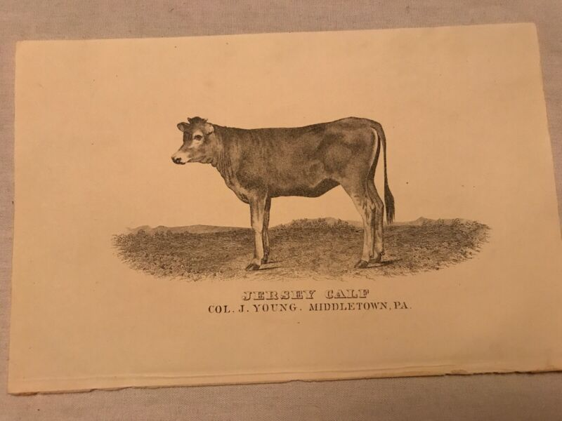 Jersey Calf Vintage Cow Sketch, Col. J. Young,  Middletown, Pennsylvania