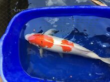 4 huge koi 45cm to 65cm ($100 to $200 each) Darch Wanneroo Area Preview