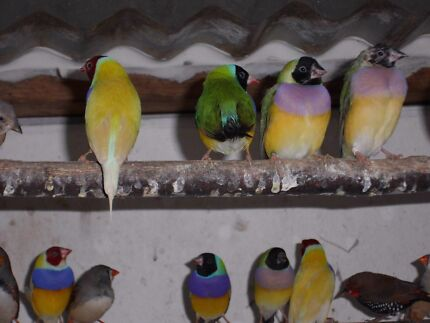 Assorted Finches for Sale - Starting at $5 Pakenham Cardinia Area Preview