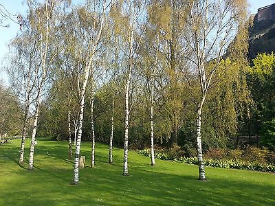 100 Silver Birch Trees 2-3ft,Stunning Winter Colour,Betula Pendula Plant,60-90cm