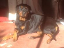Rottweiler Wanneroo Wanneroo Area Preview