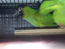 Breeding pair Nanday Conures Caboolture South Caboolture Area Preview